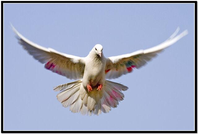 File:Dove Landing.jpg