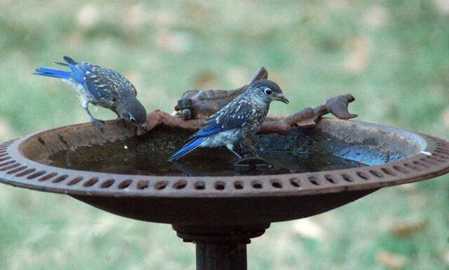 File:Bluebirds enjoy bath.jpg
