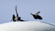 Hooded crow-jackdaw