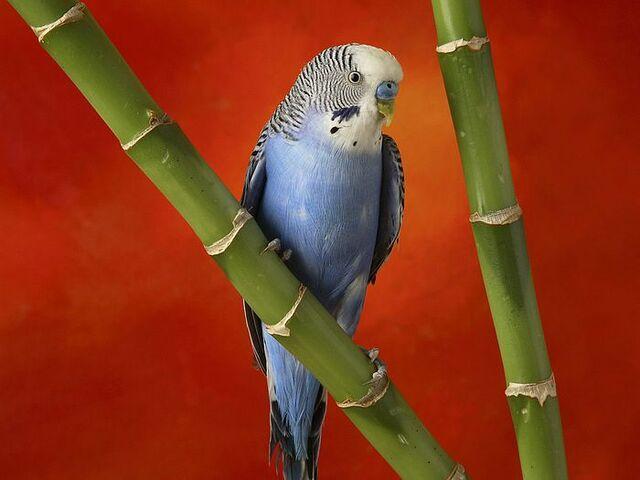 File:Parakeet on Bamboo.jpg