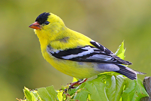 File:Gold Finch.jpg