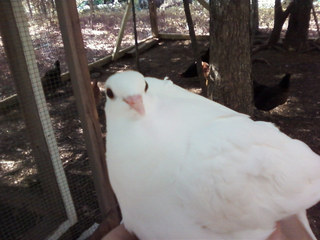 File:Dove with Questioning Look.jpg