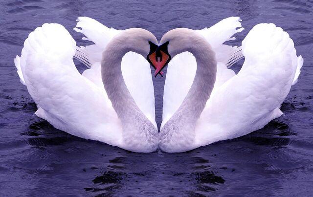 File:Swan Love.jpg