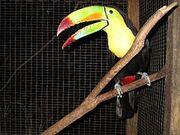 240px-Keel-Billed Toucan
