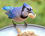 Blue jay peanut-234