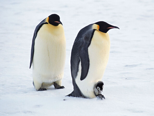 File:Arctic Penguin Pair.jpg
