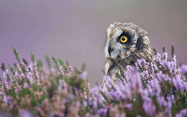 File:4 aidanfinn-shortearedowl.jpg