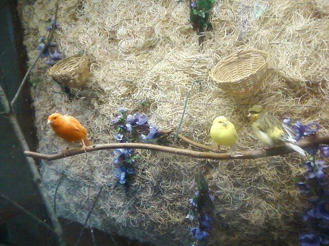 File:Canaries.jpg