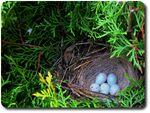 Pheasant nest-4513