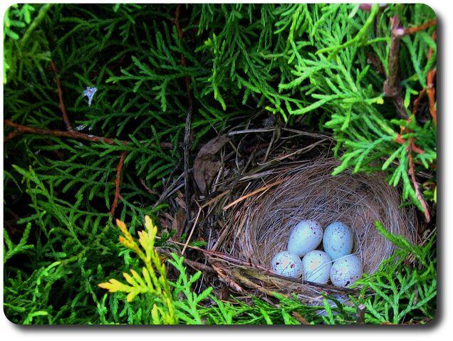 File:Pheasant nest-4513.jpg