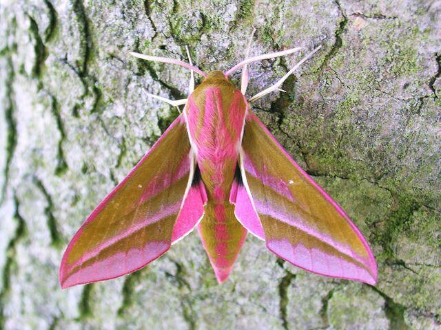 File:1991ElephantHawk-moth031 001.jpg