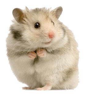 File:Hamster Reodre.png