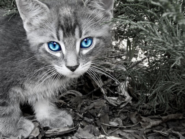 File:Blue Eyed Kitten by twilightchild91.jpg