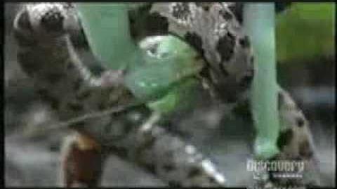 Praying Mantis Attacks Snake!