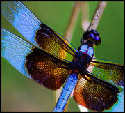 Deep in the sun-searched growths the dragonfly hangs like a blue thread loosened from the sky.