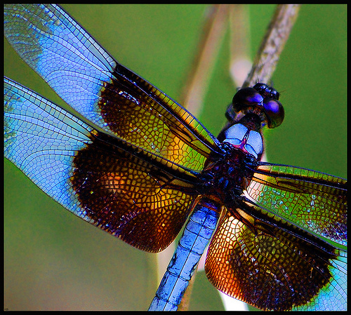 File:Deep in the sun-searched growths the dragonfly hangs like a blue thread loosened from the sky..jpg