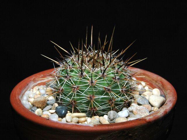 File:Echinopsis aurea100.jpg