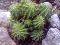 Echinopsis oxygona cluster