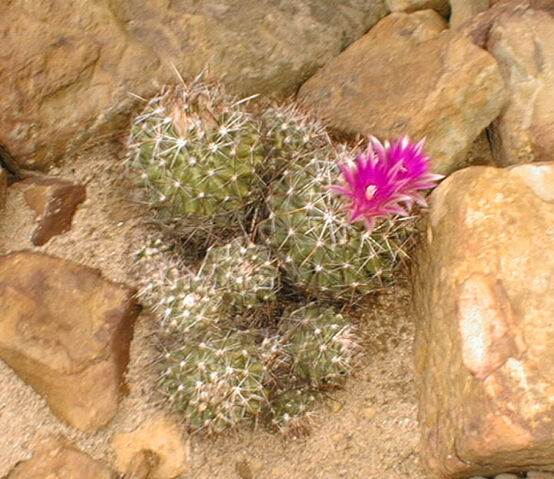 File:Coryphantha viviparaA.JPG