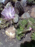 Echinopsis oxygona flowering