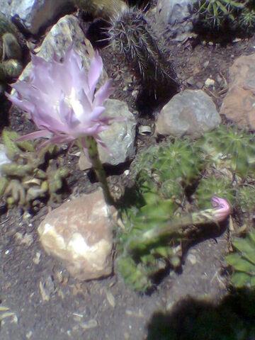 File:Echinopsis oxygona flowering.jpg