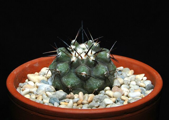File:Copiapoa cinerea100.jpg
