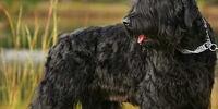 Terrier preto da Rússia