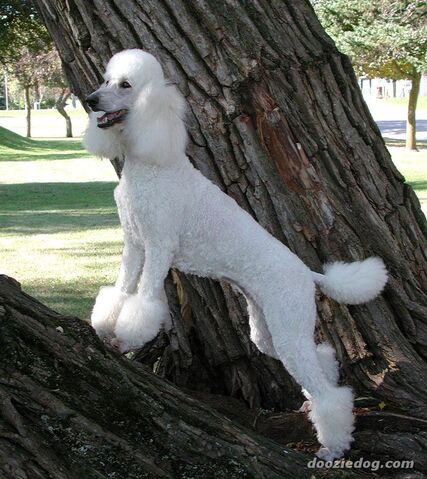 Ficheiro:Poodle-16.jpg
