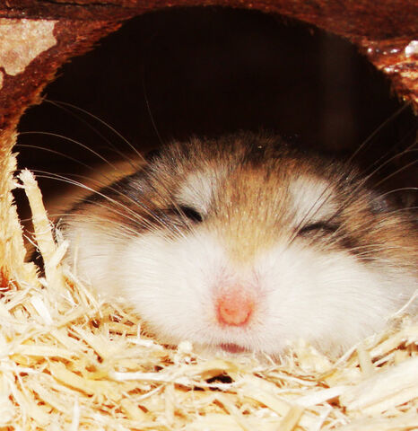 File:My Hamster by aznweirdo.jpg