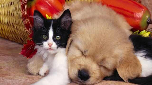 File:Cute-cats-dogs-pets-animals-1920x1080.jpg