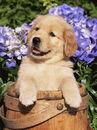 Stone-lynn-m-golden-retriever-puppy-in-bucket-canis-familiaris-illinois-usa