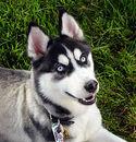 220px-Siberian Husky blue eyes Flickr