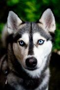 Wiki Pet husky