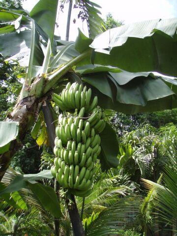 File:Banana-tree2.jpg