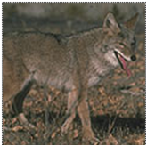 File:Cvcoyote.png