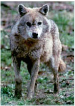 File:Indianwolf.png