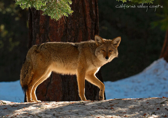 File:California Valley Coyote by DigiPainteR.jpg