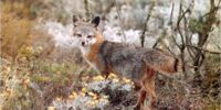 Island Gray Fox