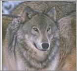 File:Steppewolf.png