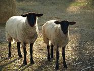 Sheepp