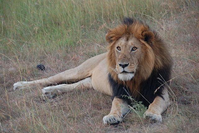 File:Lion Masai Mara.jpg
