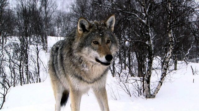 File:193103-wolves3-wolf-large.jpg