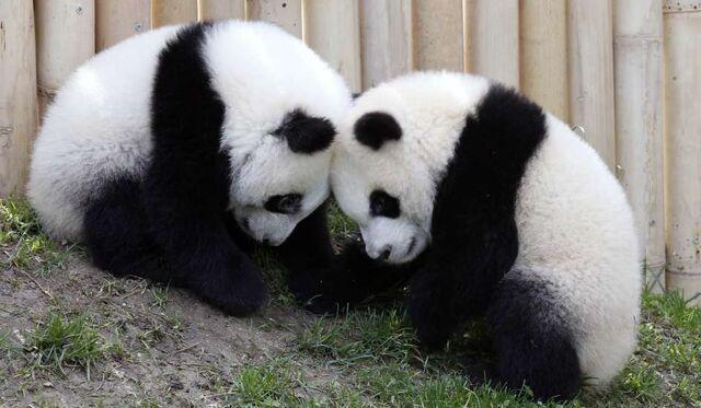 File:Osos panda.jpg