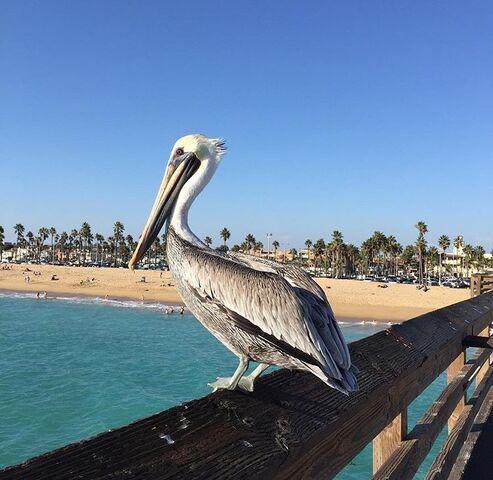 File:Balboa Peninsula Pelican.jpg
