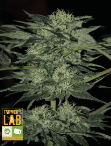 File:Blue Dream with Logos-564x744.jpg