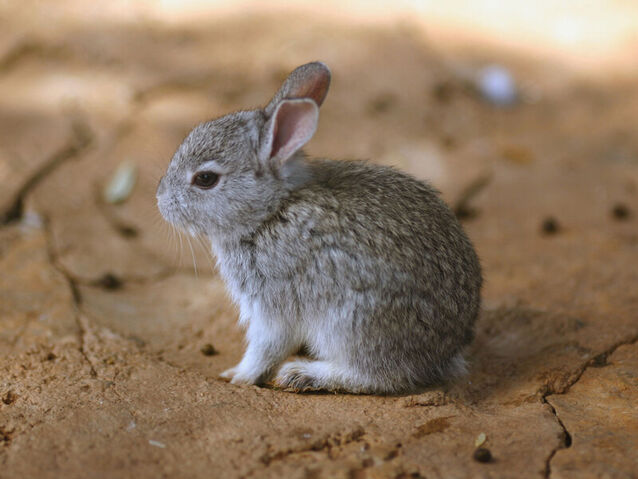 File:Baby Bunny.jpg