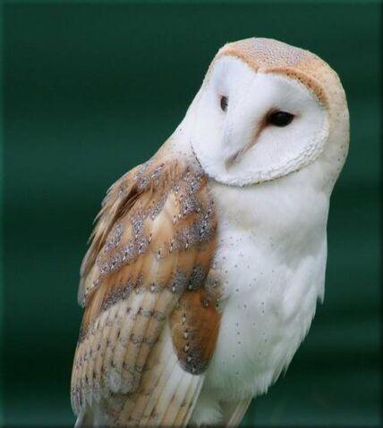 File:Barn-owl-02.jpg