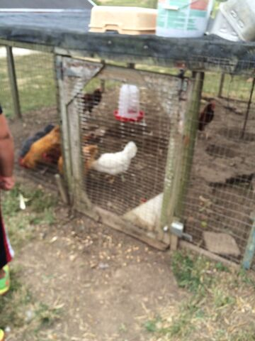 File:Brookeville farm chickens.jpeg