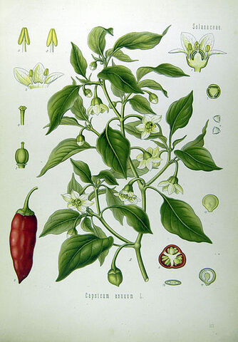 File:Illustration Capsicum annuum0.jpg