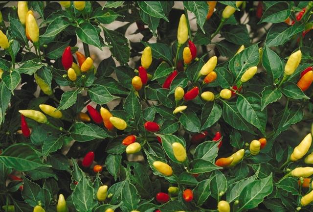 File:Tabasco peppers.JPG